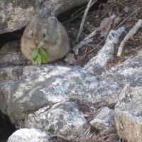 Wildlife: Sue VanDerWal, Pika Eating Grass