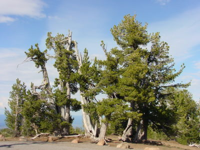 The Mountain Pine Beetle: a Friend or Foe of the Whitebark Pine?