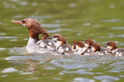 Merganser Madness: A Duck-Defying Leap